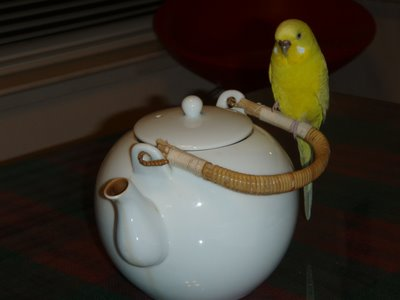 Sunny the budgie perched on a teapot handle